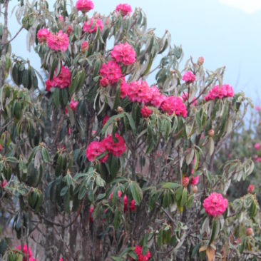 Poon Hill (52)